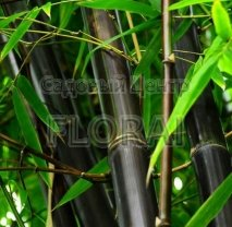 Бамбук Phyllostachys Nigra 200/250 см
