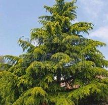 Кедр Гималайский Aurea,Высота 150+ см