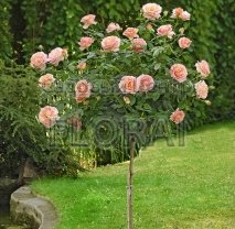 Роза Elle на среднем штамбе
