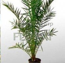 Финик пальчатый - Пальма Phoenix dactylifera C30