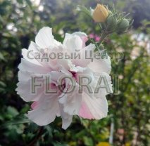 Гибискус сирийский розовый махровый 150/170 См