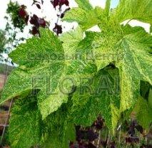 Клен pseudo Leopoldii. Обхват 8-10 Cм