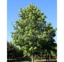 Ликвидамбар смолоносный (Амбровое дерево) 6/8 см. Высота 220+ см