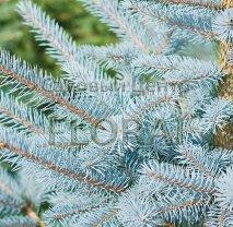 Ель колючая голубая, высота 80-100 см, С20