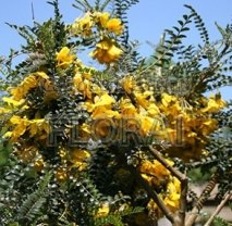 Софора мелколистная Sun King на штамбе, обхват 8-10 см