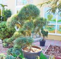 Сосна  обыкновенная (Pinus sylvestris) Glauca Pompon