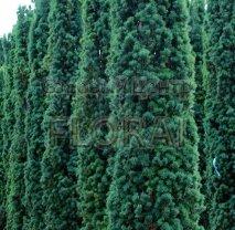 Тис ягодный (baccata) Fastigiata. Высота 100/120 Cм