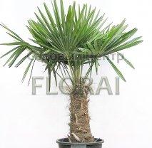 Пальма Трахикарпус fortunei. Высота 190 см