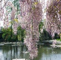 """Глициния  обильноцветущая (floribunda) """"Lilac Rose"""" (Италия)"""